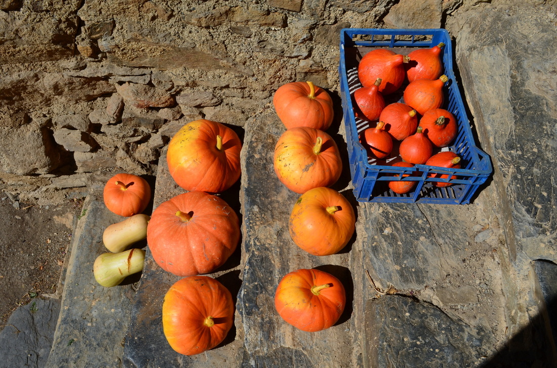 Pumpkins ripening in the sun