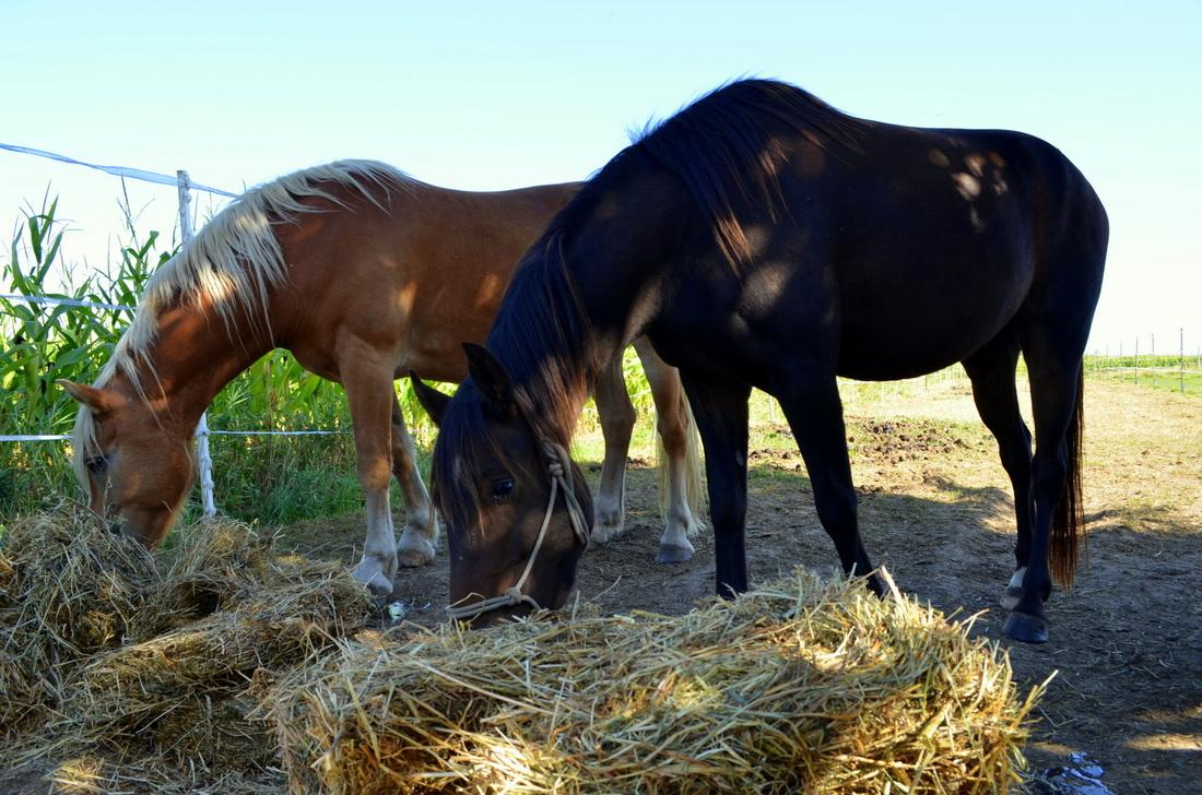 Feeding the horses.