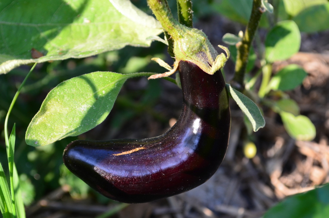 A curvy aubergine in the making.