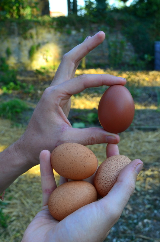 Permaculture eggs. A far better choice than the conventional ones, for those eating eggs.