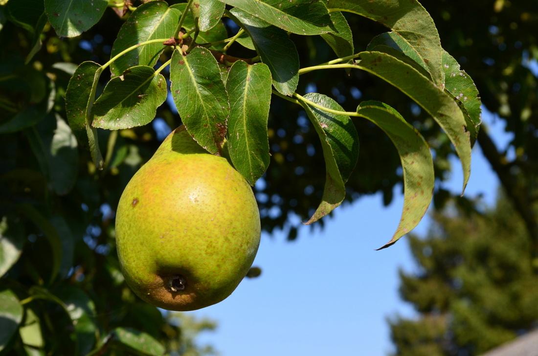 A pear.