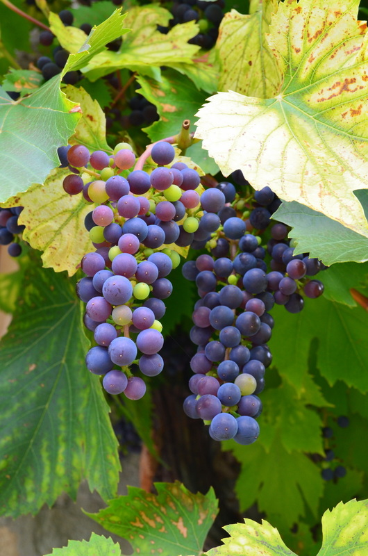 Grapes growing on the wall of a stone house